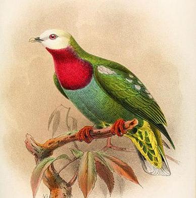 (52) Johann Wolfgang von Goethe »Dilettant und Kritiker« Bild:John Gerrard Keulemans »Ptilinopus eugeniae, White-headed Fruit Dove«
